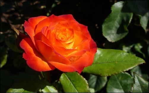 bright-orange-rose