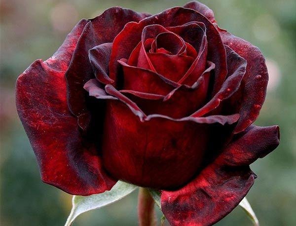 deep-and-dark-red-rose