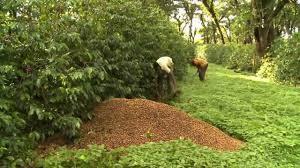 Chikhaldara Coffee Estate
